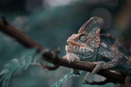 adjusted: Veiled Yemeni chameleon is walking on a tree branch. Stock Photo
