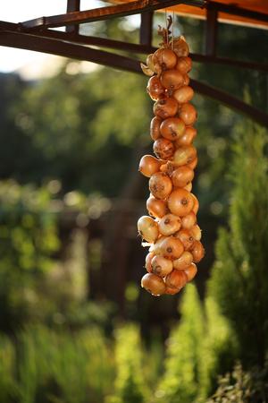 legumbres secas: manojo de ajo colgando bajo el mismo techo. vegetales secos temporada en el jardín