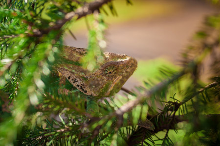 Veiled Yemeni chameleon is walking on a tree branch. Stock Photo