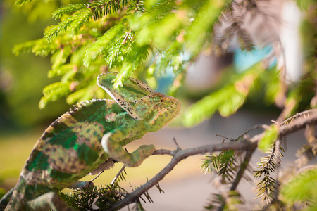 small world: Veiled Yemeni chameleon is walking on a tree branch. Stock Photo