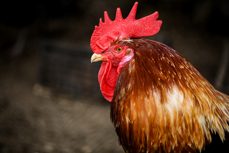 new: Portrait of Formidable brightly colored Rooster. Free Range Cock and Hens on farm. Village eco concept