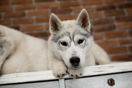 two Siberian husky puppies at home sit and play. lifestyle with dog. Stock Photo