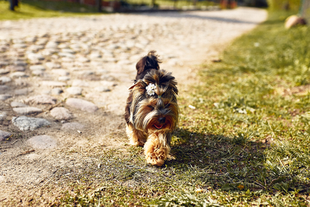Yorkshire Terrier. Little cute dog on a walk in the park. Bright background with bokeh.