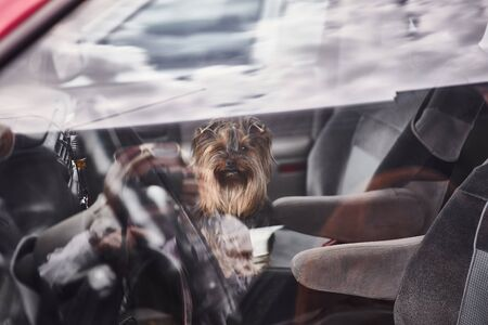 Yorkshire Terrier. Little cute dog in car. Dog left alone in locked car. View from window. Abandoned animal in closed space. Stock Photo
