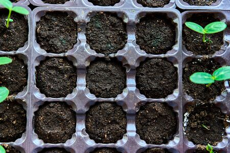 Cucumbers, pumpkin, watermelon seedling growing in cultivation tray. Vegetable plantation in house. Selective close-up of growing seed. Shallow depth of field.