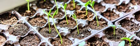 Cucumbers, pumpkin, watermelon seedling growing in cultivation tray. Vegetable plantation in house. Selective close-up of growing seed. Shallow depth of field. Web banner size 3 in 1 crop