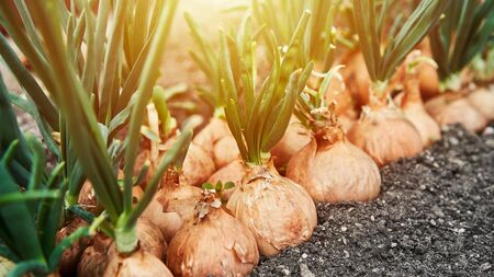 Planting onion in garden. Plantation in the vegetable garden agriculture. Sunlight flare copyspace. Banner size 16 in 9 crop Archivio Fotografico