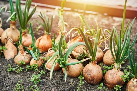 Planting onion in garden. Plantation in the vegetable garden agriculture. Sunlight flare copyspace.