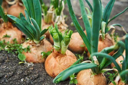 Planting onion in garden. Plantation in the vegetable garden agriculture. Archivio Fotografico