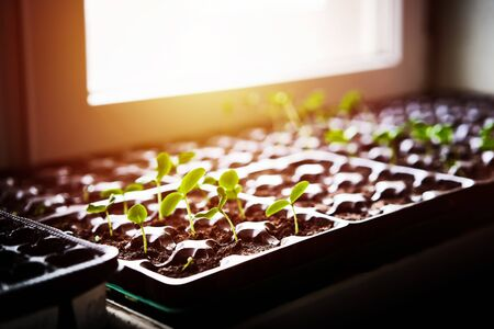 Cucumbers, pumpkin, watermelon seedling growing in cultivation tray. Vegetable plantation in house. Selective close-up of growing seed. Shallow depth of field. Sunlight flare copyspace for design. Archivio Fotografico