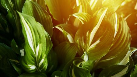 Host plant. Bright green background with leaves for design. Hosta in garden. Sunlight flare copyspace.