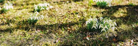 Snowdrops in sunlight. Early spring flowers. Bright background for web design, site. Banner size