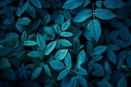 Trend dark blue background with leaves. Plant in shadow. Copyspace for design