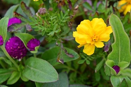 Purple and yellow flowers Stock Photo
