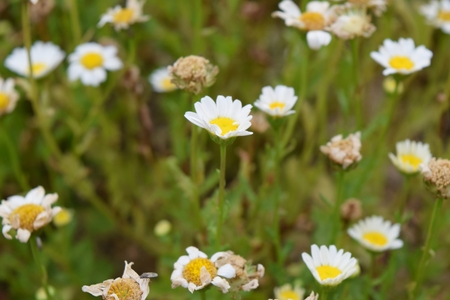 shasta daisy: Daisy flowers resemble egg fry Stock Photo