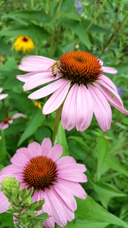 Echinacea flowers and bee