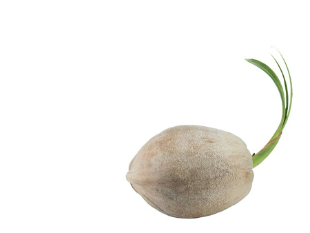 coconut seedlings: Sprout coconut  on white background Stock Photo