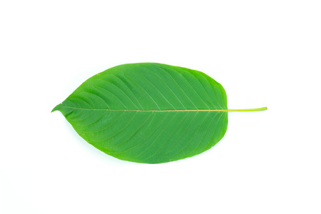 Mitragyna leaf  It is a medicinal plant and is addictive