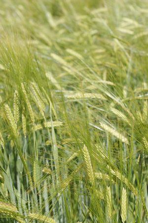 abstrait: field of barley Stock Photo