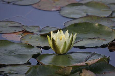nenuphar: nenuphar flower on a lake