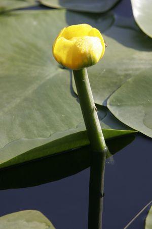 nenuphar: nenuphar flower