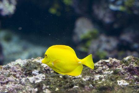exotic fish: un pez ex�tico, nataci�n Foto de archivo