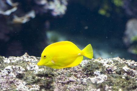 exotic fish: un pesce esotico di nuoto Archivio Fotografico