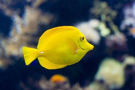exotic fish: un pez ex�tico nataci�n  Foto de archivo