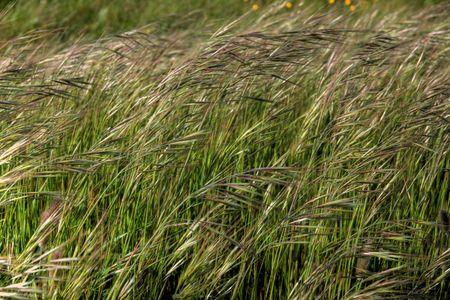 abstrait: it is a macro of a field of barley