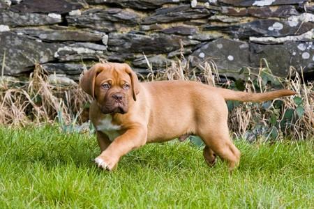 dogue de bordeaux: puppy dogue de bordeaux mastiff