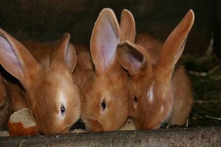 hutch: few rabbits eating in their hutch