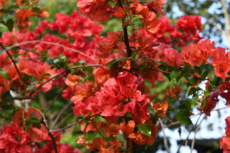 Red Bougainvillea flowers in the garden