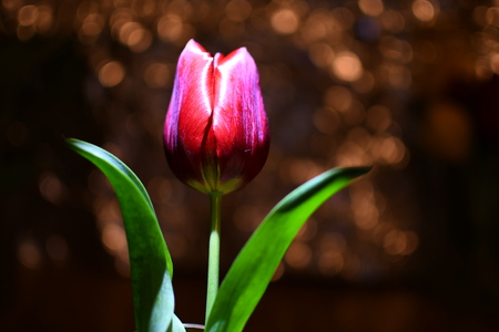 Tulip in the sunlight and blur background , Abstract background