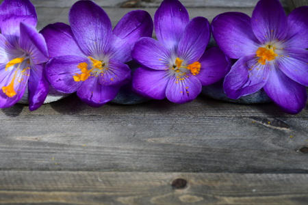 crocus on the wood background