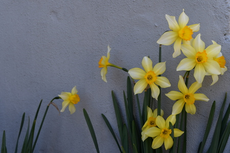 daffodil in the garden on the wall background