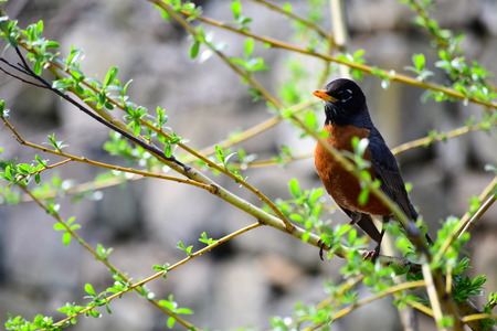 The American Robin bird on the tree