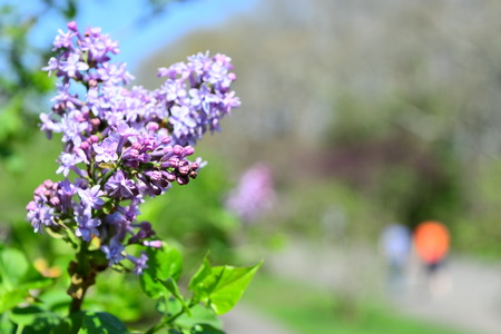 taking picture of syringa hyacinthflora in the park and blurring background Imagens