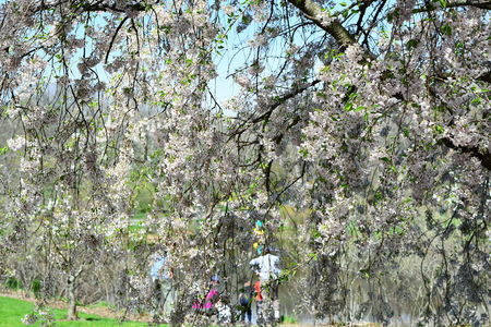 taking picture of cherry blossom and blur background