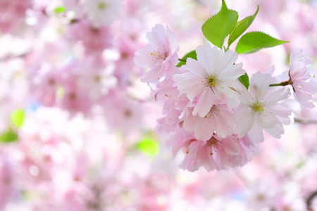close up cherry blossom and blurred background Imagens