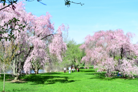 cherry blossom in the park , defocused background