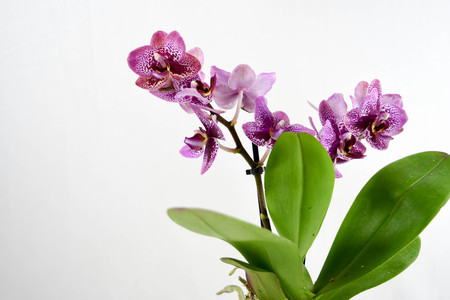 close up of the orchid flowers on white backgrounds