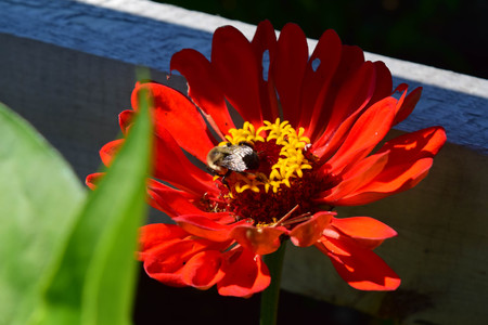 close up of the zinnia flower and bee