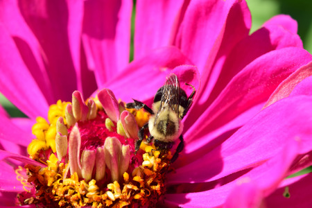 close up of the zinnia  flower and bee Imagens