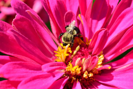 close up of the zinnia and bee