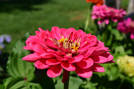 close up zinnia in the garden Imagens