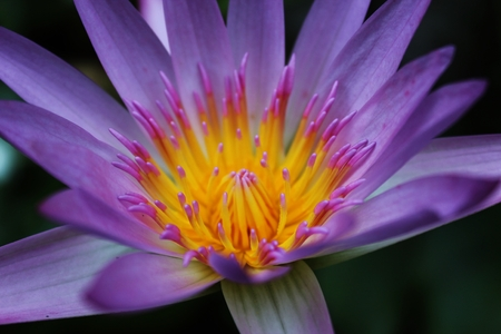 close-up of pink lotus in the garden Imagens