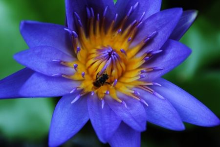 close-up of purple lotus and bee in the garden