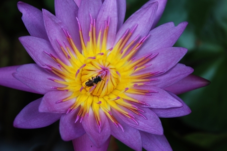 close-up of pink lotus and bee in the garden