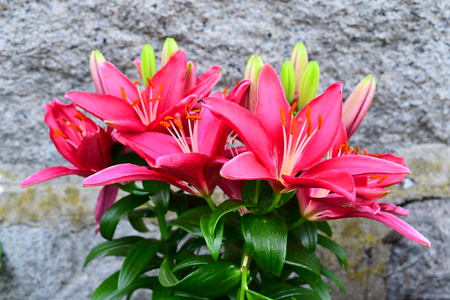 pink lily on the wall background