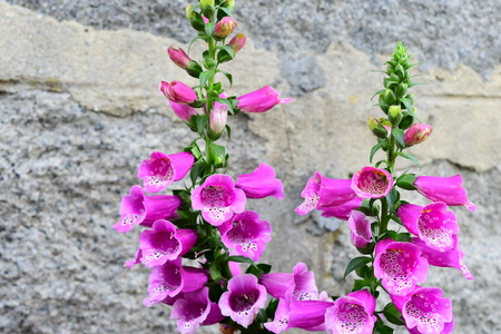 purple foxglove flowers on the wall background Imagens